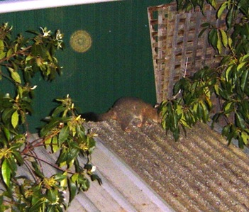 south australian possum