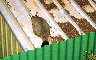 possum in my backyard1