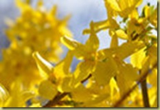 Chris.forsythia.4.10