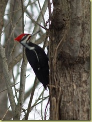 Feb. 2011 piliated woodpecker 037