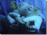 flo-glow-pigs