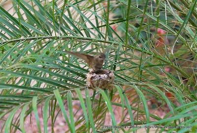 Hummingbird Landing on Nest - MacDonald Highlands Henderson, NV