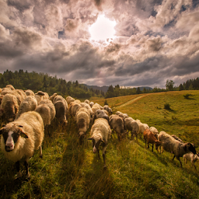 A flock of sheep in the summer by Stanislav Horacek - Landscapes Prairies, Meadows & Fields