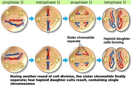 Reproduksi Sel (3) : Meiosis (plus video animasi)