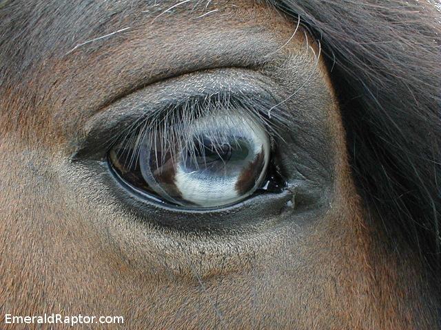 Hest med blått øye Hører til bloggpost http://emeraldraptor.com/?p=552