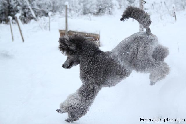 Puddel som leker i snøen