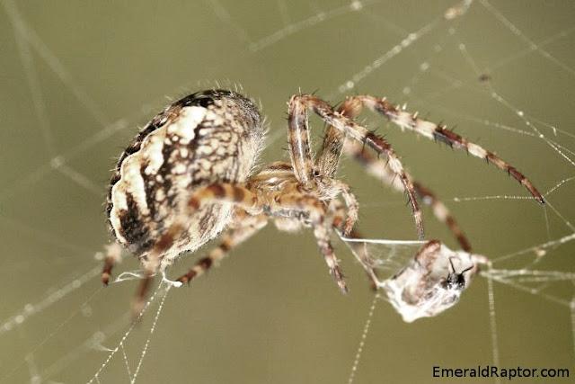 oftograf 2: Bevegelse: uflaks Edderkopp som pakker inn byttet sitt