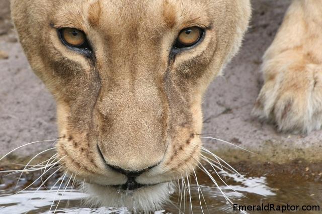 L - Løve