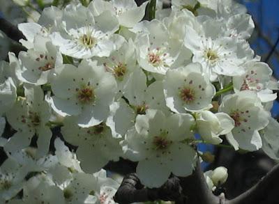 Male High Bradford pear blossoms