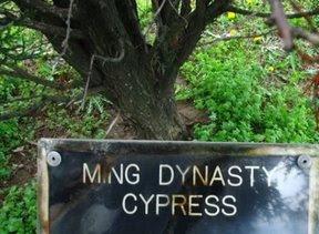 Ming Dynasty cypress