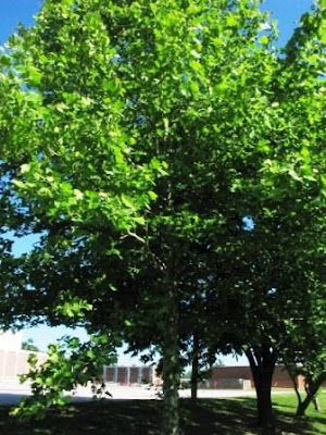 Hippocratic Oath sycamore
