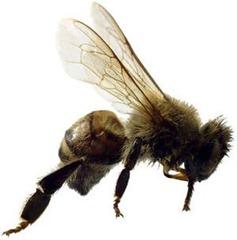 TJRA-Bee