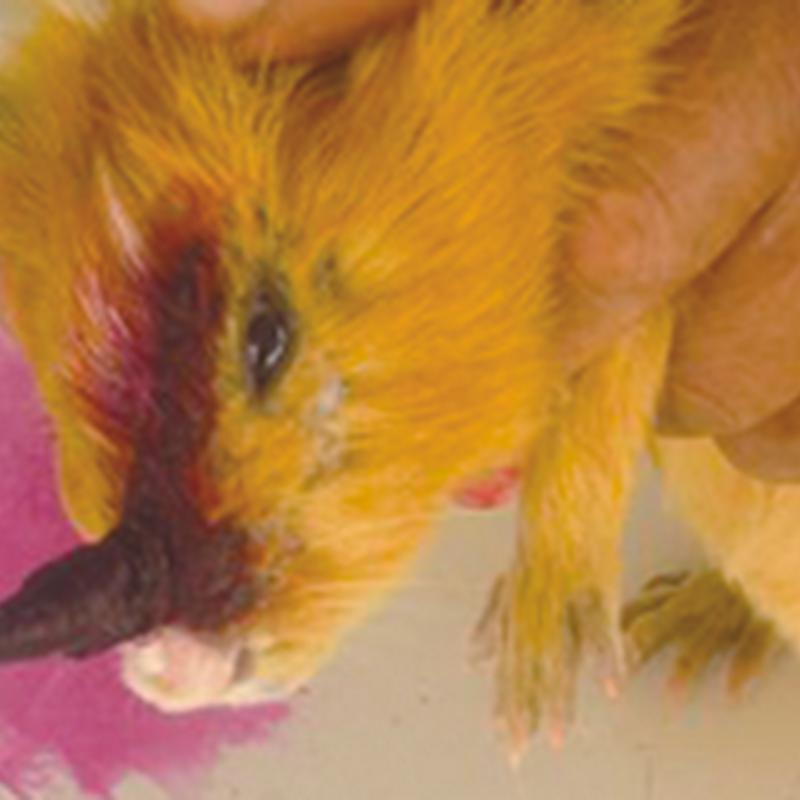 Micosis en el Cuy – Cobaya – Guinea Pig