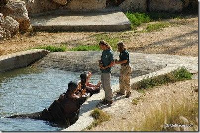 Hippopotamuses eating, tb082505678