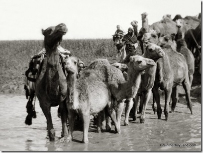 Camels fording stream, Elah Valley, mat01310