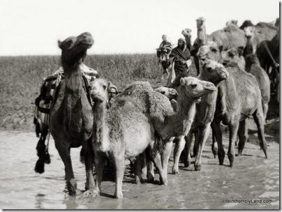 Camels fording stream, Elah Valley, mat01310
