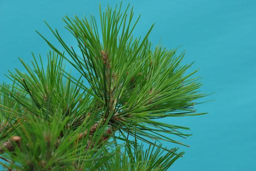 Masson pine