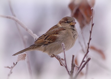 Sparrow on a frosty branch