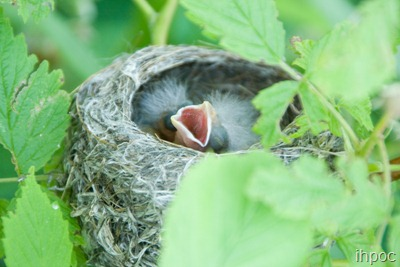 Baby Bird in my Raspberry Bushes