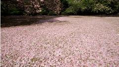 sakura carpet2