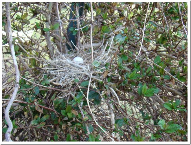 04-23-09 Dove nest in the honeysuckle 21