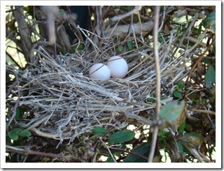 04-24-09 Dove eggs2