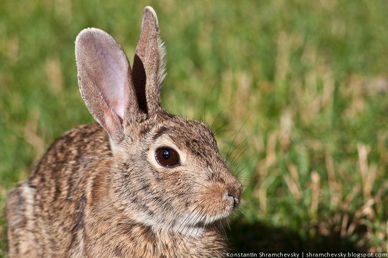 Кролик Крупный План Фото Уши Глаза