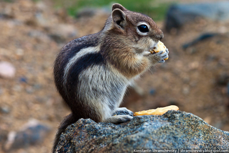 USA United States of America Colorado Jefferson Lake Rocky Mountains Chipmunk США Соединенные Штаты Америки Колорадо Джефферсон Озеро Лейк Скалистые Горы Бурундук Грызун