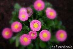 Flores-Efeitos Focagem Suave no Picasa