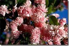 Kwanzan-blooms-220W