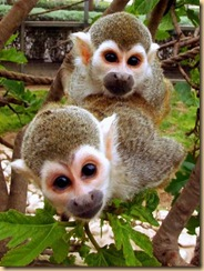 cute-squirrel-monkeys