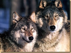 jlm-wolves-1024x768