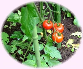 Tomato-034-2