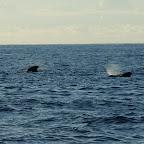 Pilotwale zwischen Teneriffa und La Gomera