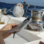 Studium des fliegenden Fisches