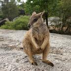 so ein herziger Rock Wallaby