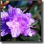 rhododendron-ramapo