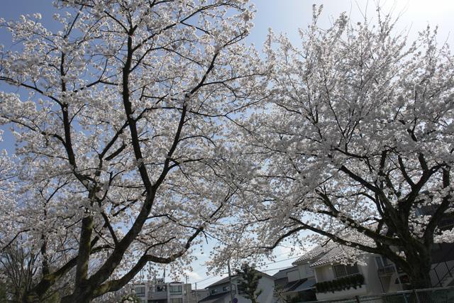 金沢 桜満開 その9 小立野1丁目 児童公園
