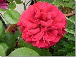 Estanque y rosas 13 de mayo de 2009 002