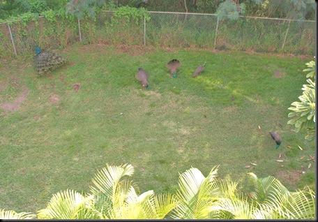 peacocks (30)