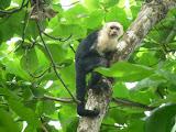 Le singe à tête blanche est difficile