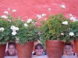 Fleurs parmi les pots