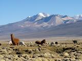Alpacas (plus petits et plus touffus)