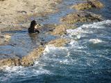 Lion de mer à crinière