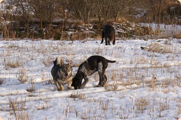 tre hunde