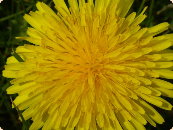 gul som solen
