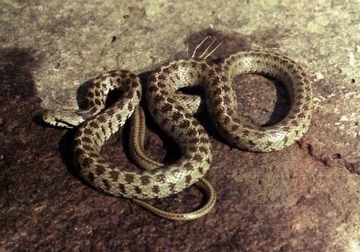 Закавказский полоз (Elaphe hohenackeri, Zamenis hohenackeri), Фото фотография картинка рептилии змеи
