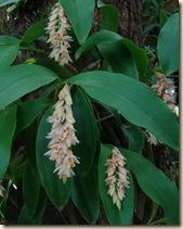 Pholidota articulata