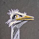 Struisvogel, krijt