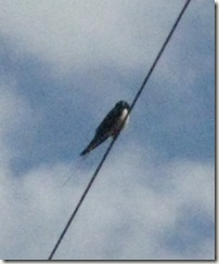 first swallow